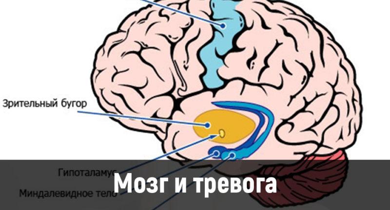 Мозг и тревога